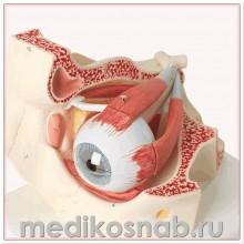 Модель глаза, 3-кратное увеличение, 7 частей