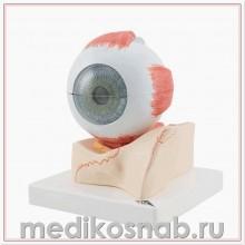 Модель глаза, 5-кратное увеличение, 7 частей