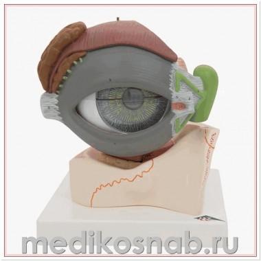 Модель глаза, 5-кратное увеличение, 8 частей