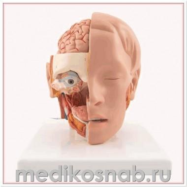 Модель головы, 6 частей