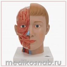 Модель головы и шеи, 4 части