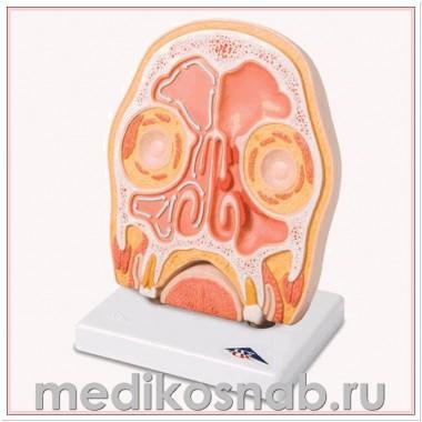 Модель головы в разрезе