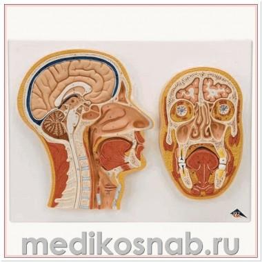 Модель срединного и фронтального сечения головы
