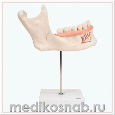 Модель половины нижней челюсти, 3-кратное увеличение, 6 частей