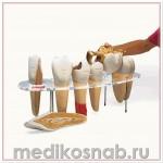 Набор «Морфология зуба», 7 частей, 10-кратное увеличение, на английском языке