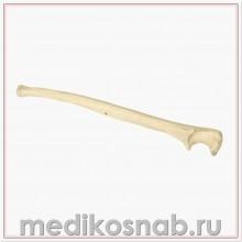 Локтевая кость правая ORTHObones Премиум