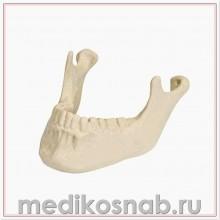 Нижняя челюсть с зубами ORTHObones Премиум