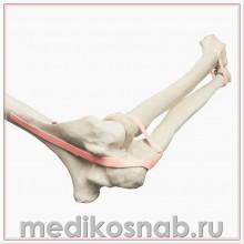 Локтевой сустав с локтевой, лучевой, плечевой костью и латексной лентой ORTHObones Премиум