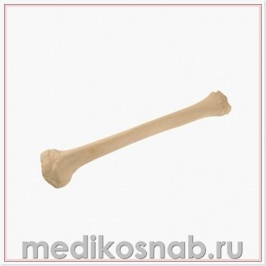 Большеберцовая кость ребенка правая ORTHObones Стандарт