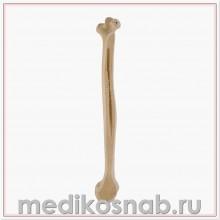 Плечевая кость правая ORTHObones Стандарт