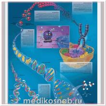 Плакат медицинский ДНК - генотип человека