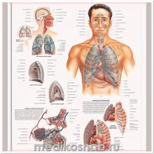 Плакат медицинский Дыхательная система