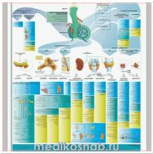 Плакат анатомический Эндокринная система