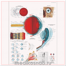 Плакат медицинский Глаз человека