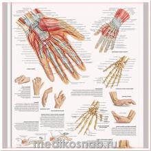 Плакат медицинский Кисть и запястье, анатомия и патология