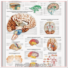 Плакат медицинский Мозг человека