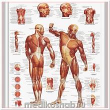 Плакат медицинский Мускулатура человека