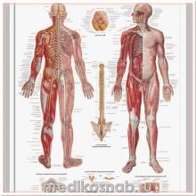 Плакат медицинский Нервная система человека
