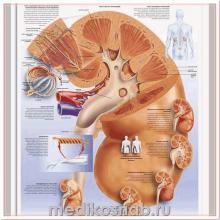 Плакат медицинский Почка человека