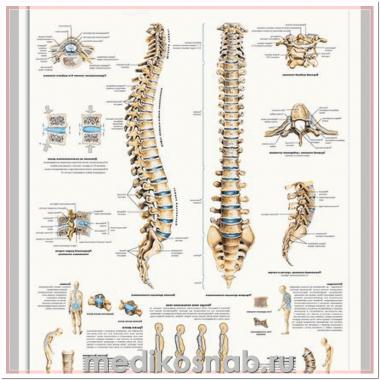 Плакат медицинский Позвоночник человека