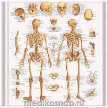 Плакат медицинский Скелет человека