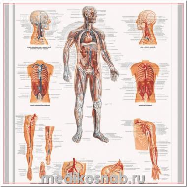 Плакат медицинский Сосудистая система человека