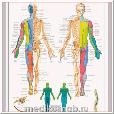 Плакат медицинский Спинномозговые нервы человека