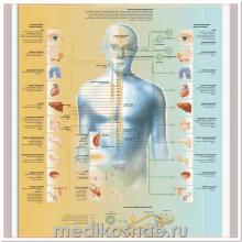 Плакат медицинский Вегетативная нервная система