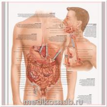 Плакат медицинский Заболевания пищеварительной системы