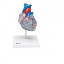 Классическая модель сердца с проводящей системой, 2 части
