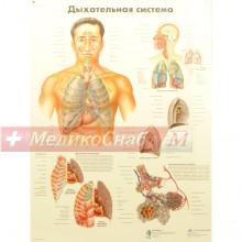 Дыхательная система (плакат настенный ламинированный)
