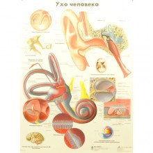 Ухо человека (плакат настенный ламинированный)