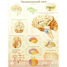 Человеческий мозг (плакат настенный ламинированный)