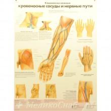 Кровеносные сосуды и нервные пути (плакат настенный ламинированный)
