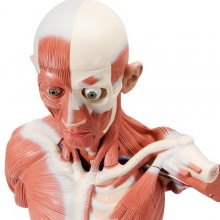 Анатомическая модель человека