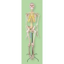 Макет скелета человека