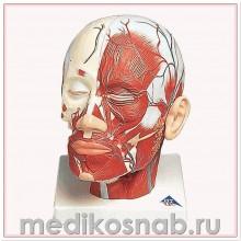 Модель мышц головы с кровеносными сосудами