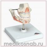 Модель молочных зубов