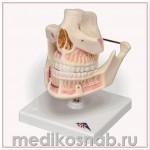 Модель зубов взрослого человека
