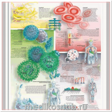 Плакат медицинский Кровь